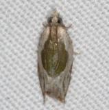 3388.97 Unidentified Ancylis Moth Campsite 119 Falcon St Pk Texas 10-27-16 (1)_opt