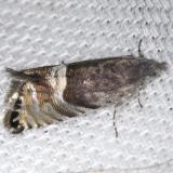 3425 Speckled Sereda Moth Sereda tautana yard 4-15-13