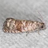 3428 Cherry Fruitworm Moth Grapholita packardi yard 6-5-13