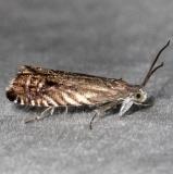 3438 Solidago Root Moth yard 5-13-16