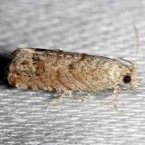 3443.97 Unidentified Grapholita Moth Alexander Springs Ocala Natl Forest 3-19-13