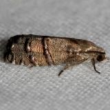 3486 Eastern Pine Seedworm Moth Lake Kissimmee St Pk Fl 2-28-13