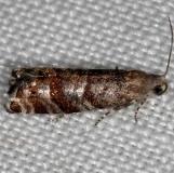 3488 Slash Pine Seedworm Moth Rodman Campground Fl 3-19-14