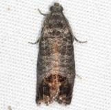 3492 Codling Moth yard 9-8-15