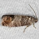 3492 Codling Moth yard 5-21-13