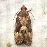 3495 Dotted Ecdytolopha Moth Mahogany Hammock Everglades Nat'l Pk 2-25-12