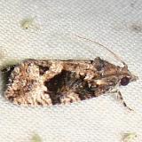3495 Dotted Ecdytolopha Moth Mahogany Hammock Everglades National Pk 2-25-12
