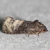 3497 Locust Twig Borer Moth yard 5-12-12