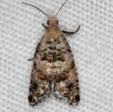 3499.99 Unidentified Olethreutine Moth BG Thunder Lake UP Mich 6-23-14