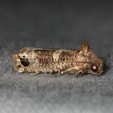 3500.99 Unidentified Olethruetinae Moth Collier Seminole St Pk 3-2-14