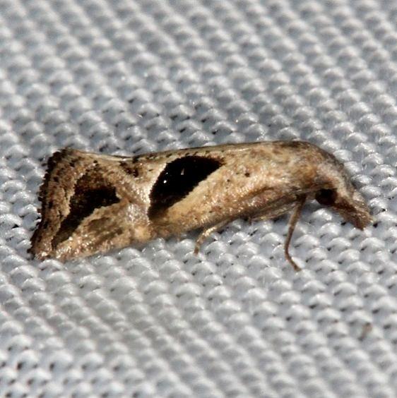 3763 Eugnosta bimaculana Pineland Everglades 2-18-14