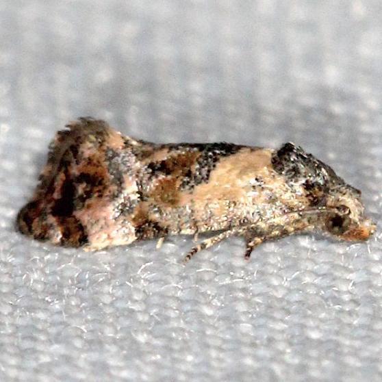 3776 Hoffman's Cochylid Moth yard 5-18-13