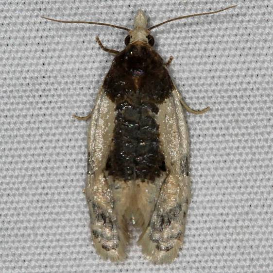 3796 Contrasting Henricus Moth Mesa Verde National Pk Colorado 6-9-17 (48)_opt