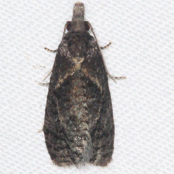 3827.97 Unidentified Phtheochroa Moth BG yard 8-4-16 (23)_opt
