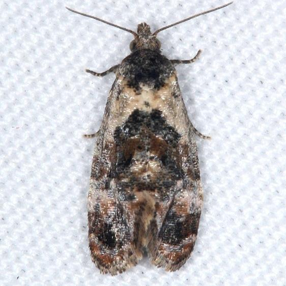 3837 Kearfott's Rolandylis Moth yard 6-1-16 (23a)_opt