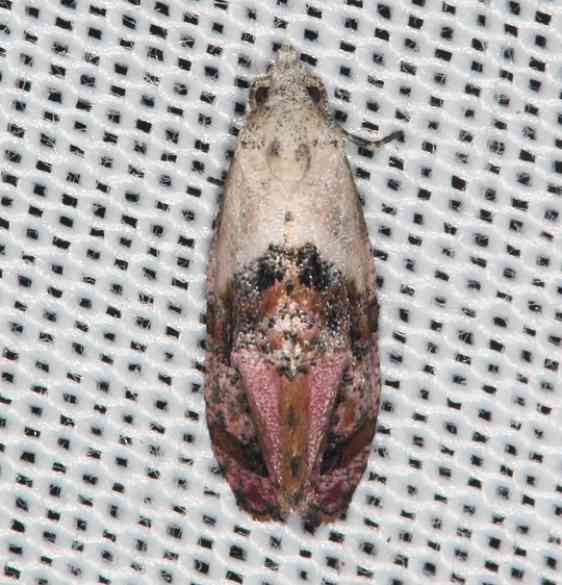 3847 Holland's Cochylid Moth Lake of the Woods Ontario 7-21-16 (75a)_opt