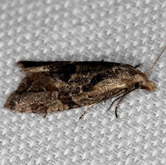3759.3 Razowski's Aethes Moth Tosohatchee WMA Fl 2-11-14