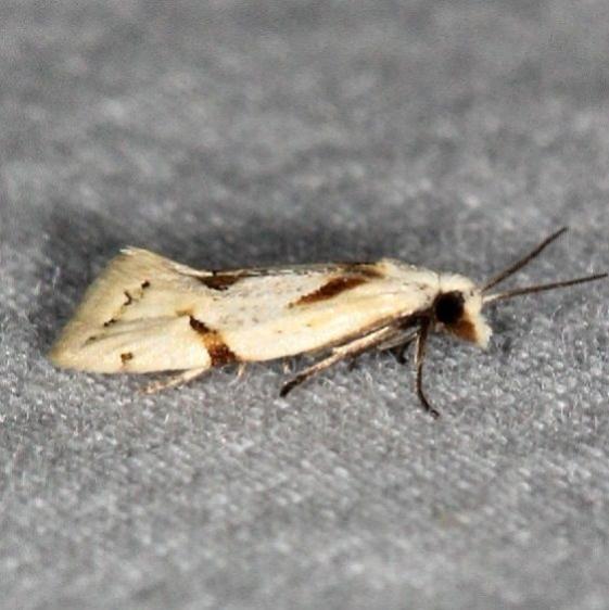 3760.1 Seriated Aethes Moth Bader's house Palm Coast Fl 3-21-15