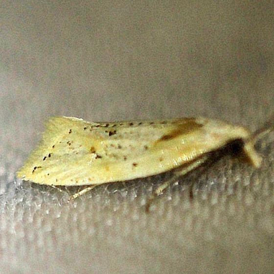 3760.1 Seriated Aethes Moth Everglades Natl Pk Nike Missle Rd 3-7-13