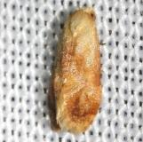 3769 Cochylis bucera closest Hidden Lake Everglades Natl Pk 3-9-13