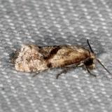 3771 Cochylis caulocatax Lucky Hammock Everglades 2-23-14