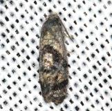3776 Hoffman's Cochilid Moth yard 8-12-13