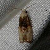 3809.97 Unidentified Phalonida Moth CREW Marsh Fl 3-6-12