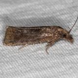 3827.97 Unidentified Phtheochroa Moth BG no ID yard 10-6-16 (1)_opt (1)