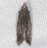 3827.97 Unidentified Phtheochroa Moth BG no ID yard 10-6-16 (2)_opt