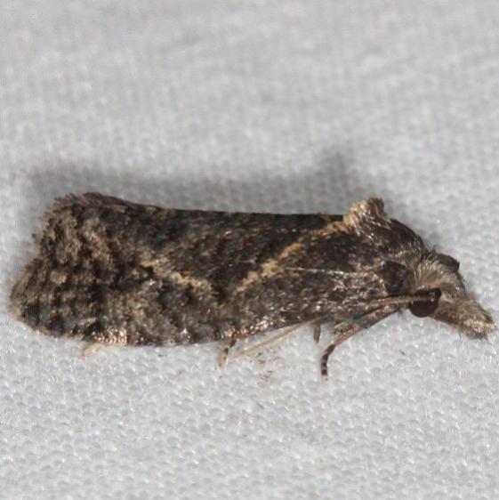 3827.97 Unidentified Phtheochroa Moth BG yard 8-4-16 (22)_opt