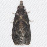 3827.97 Unidentified Phtheochroa Moth BG yard 8-4-16 (3)
