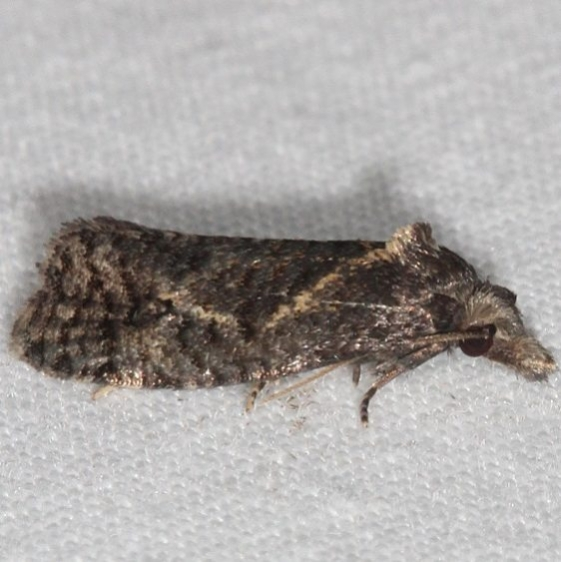 3827.97 Unidentified Phtheochroa Moth BG yard 8-4-16