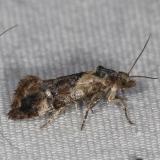 3837 Kearfott's Rolandylis Moth yard 6-1-16 (24a)_opt