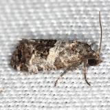 3839 Black-tipped Rudenia Moth yard 5-18-13