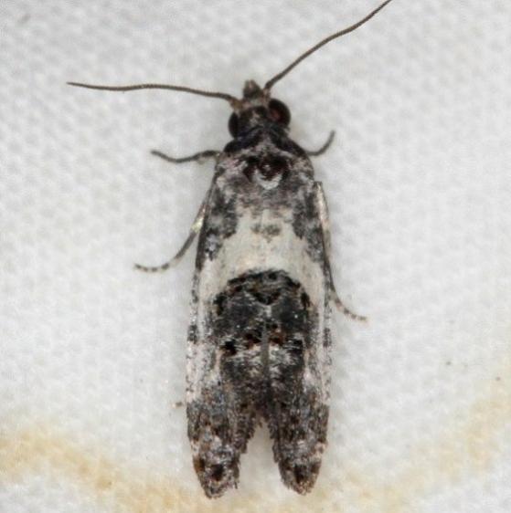 3839 Black-tipped Rudenia Moth yard 7-23-14