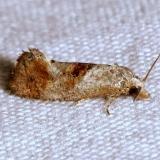 3844 Thyraylia bunteana Moth yard 4-30-12