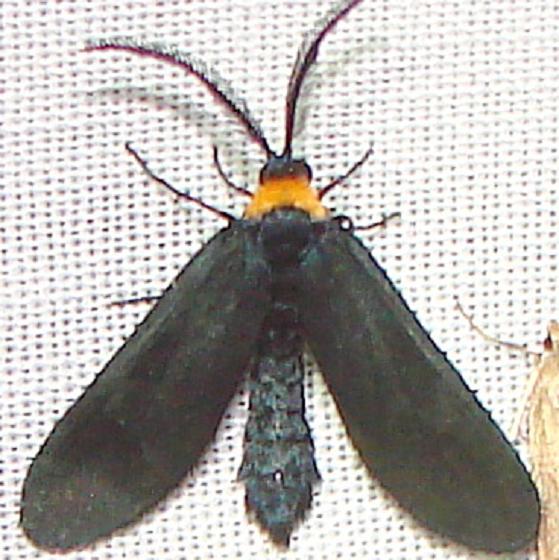 4624 Grapeleaf Skeletonizer Moth Kissimmee Lake St Pk 2-24-12