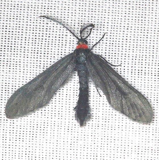 4624 Grapeleaf Skeletonizer Moth Shawnee St Pk Oh 6-14-13