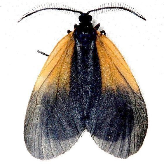 4639 Orange-patch Smoky Moth Shawnee St Pk Oh 6-15-13