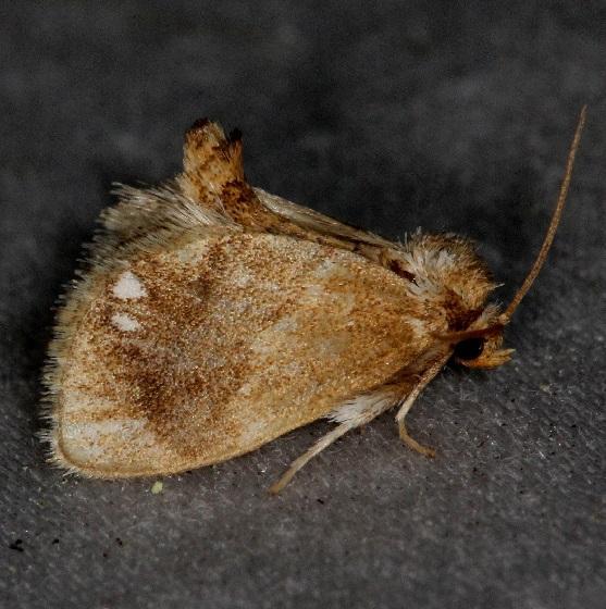 4659 Jeweled tailed Slug Moth Thunder Lake UP Mich 6-23-13