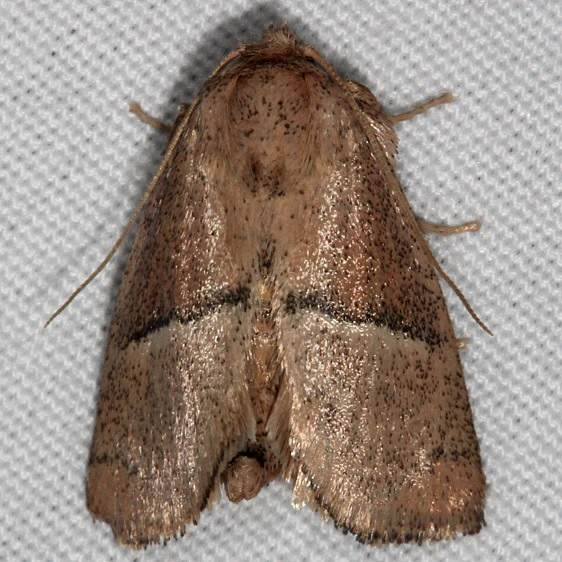 4668 Rectilinea Slug Moth Silver Lake Cypress Glenn Fl 3-16-15