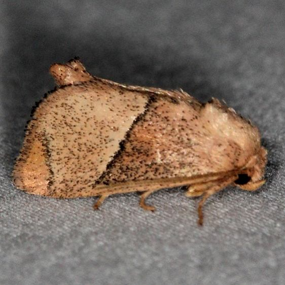 4668 Rectilinea Slug Moth Silver Lake Cypress Glenn Fl 3-19-15