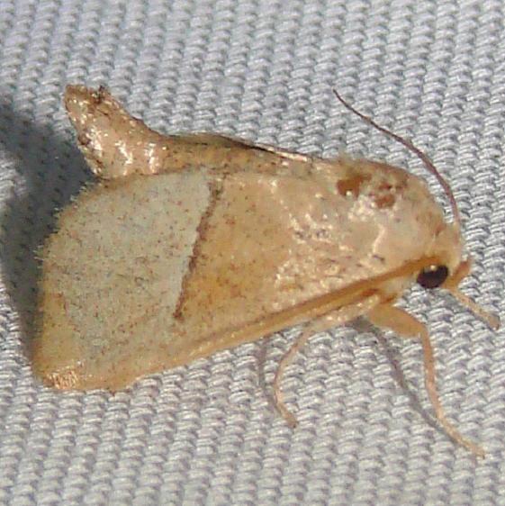 4668 Rectilnea Slug Moth Payne's Prairie St Pk 3-22-12