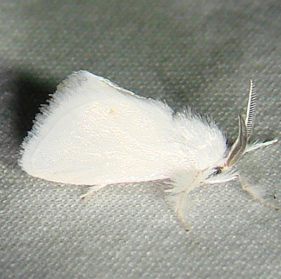 4673 Packard's White Flannel Moth Mahogany Hammock Everglades 2-27-12