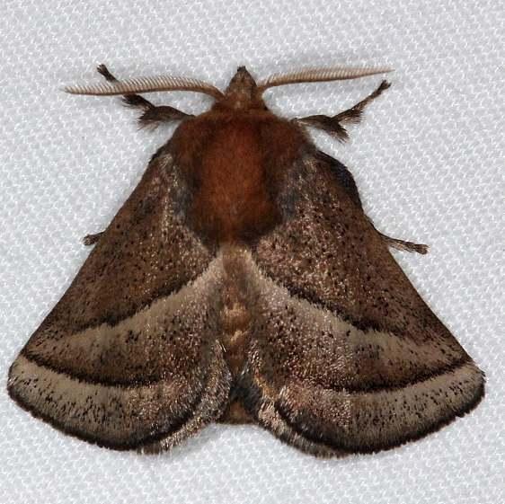 4679 Nason's Slug Moth Burr Oak St Pk 6-27-14