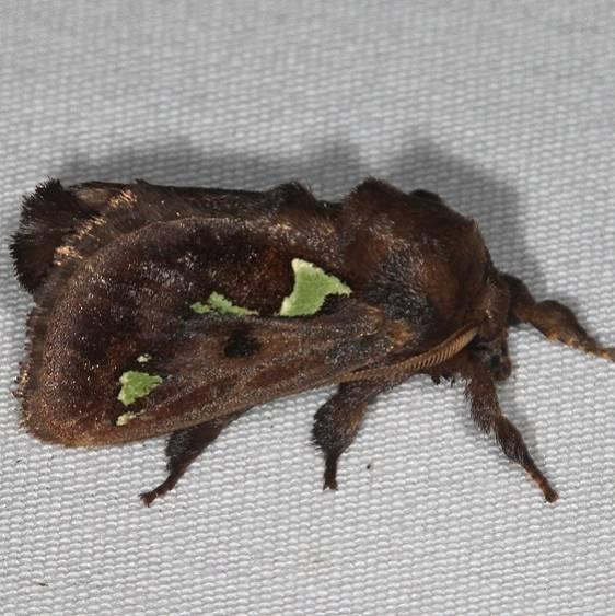 4697 Spiny Oak-slug Moth yard 6-10-16 (11a)_opt