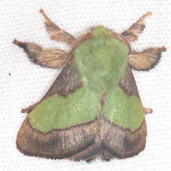 4698 Smaller Patasa Moth Mothapalooza Shawnee St Forest Oh 7-7-17 (141)_opt