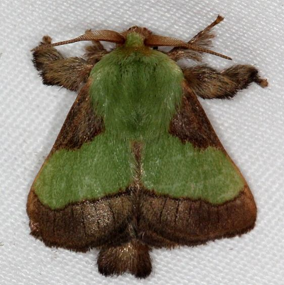 4699 Stinging Rose Caterpillar Moth Copperhead firetower Shawnee St Pk 8-6-16 (24a)_opt