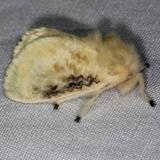 4644 Black-waved Flannel Moth Burr Oak St Pk at cabins Oh 6-27-14
