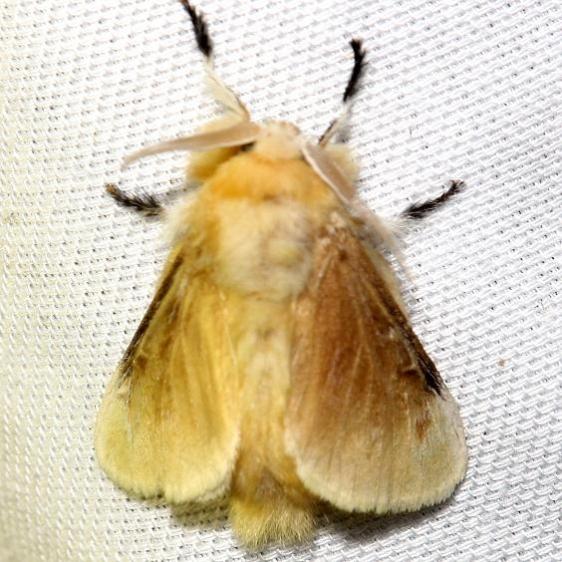 4647 Southern Flannel Moth Lake Kissimmee St Pk Fl 2-27-13
